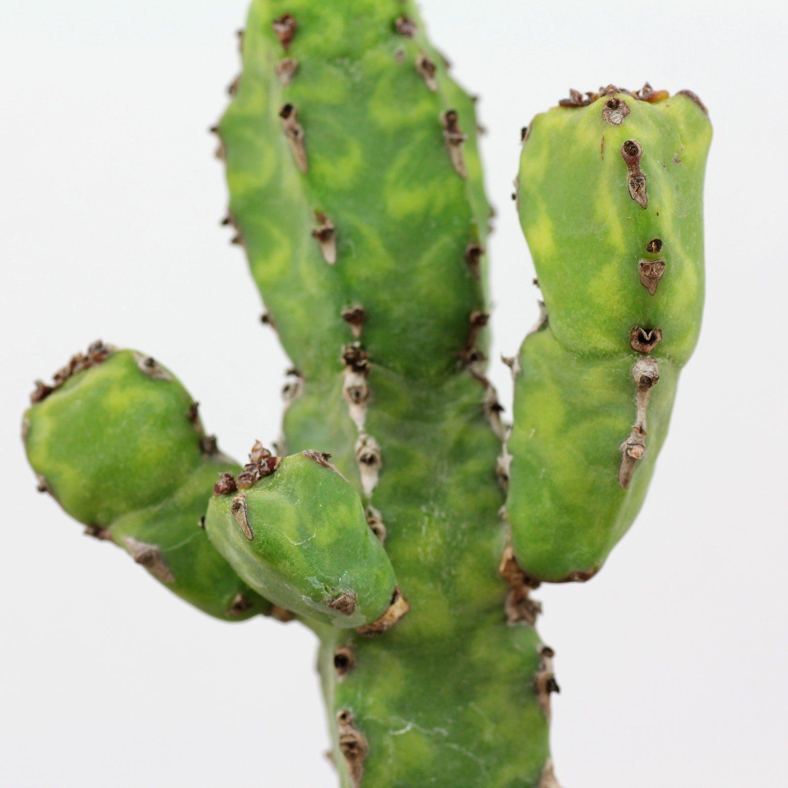 Euphorbia pseudocactus lyttoniana