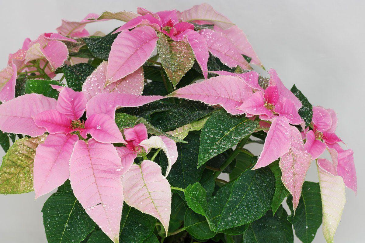 Herbststern Princettia Pink