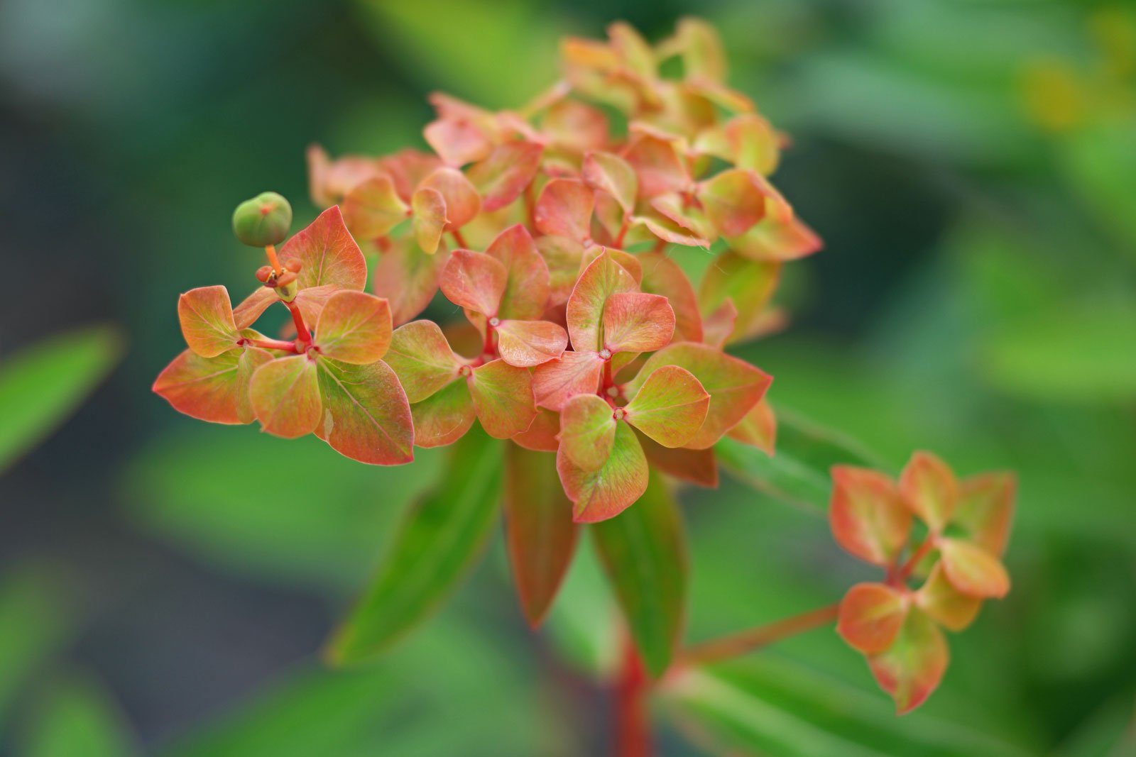 Euphorbia griffithii Dixter