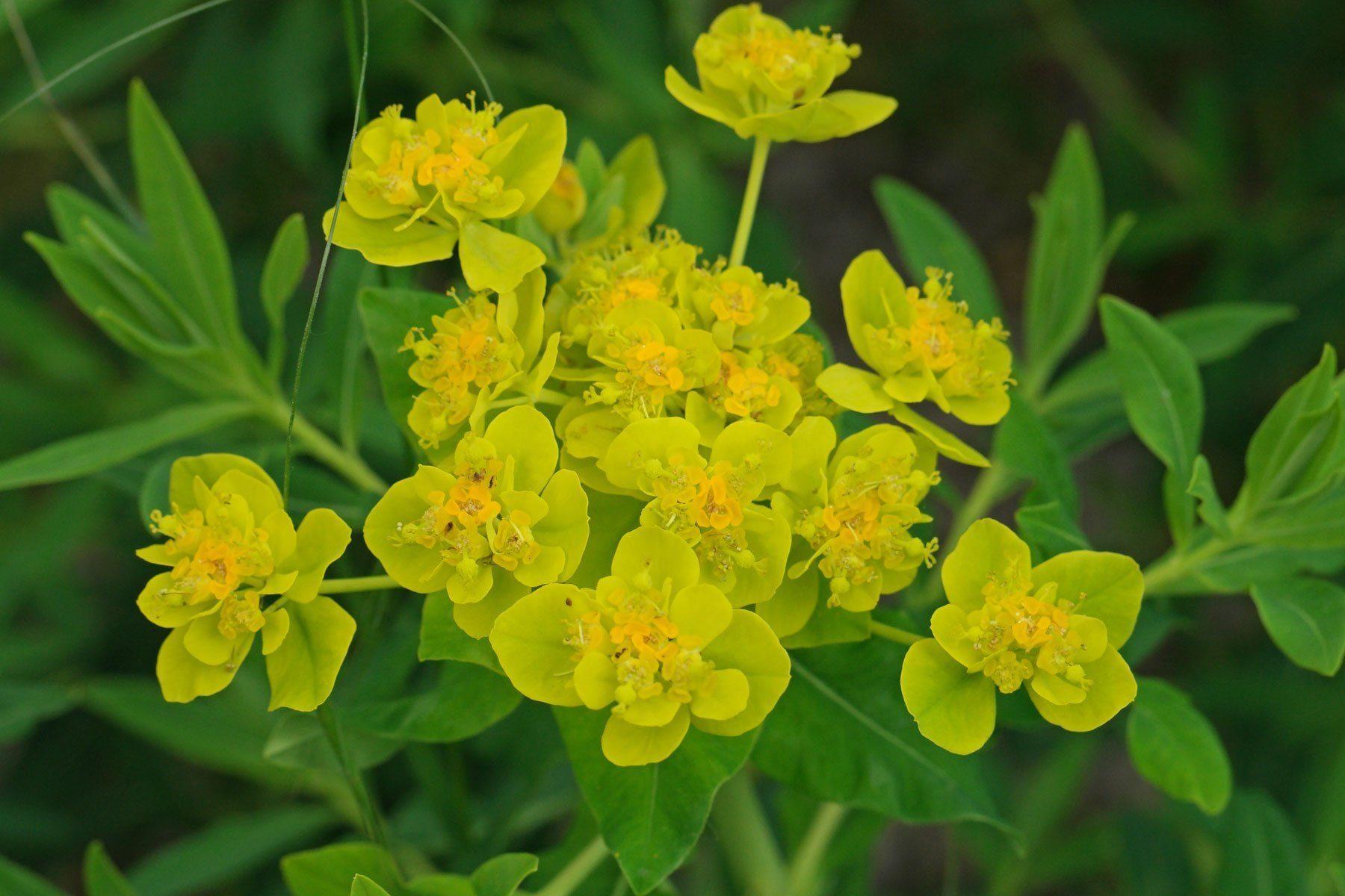 Euphorbia Wolfsmilchgewächs